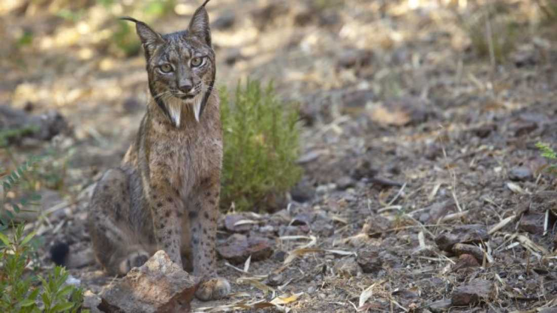 1245 The Iberian Lynx Is Slowly Recovering In South-Western Europe