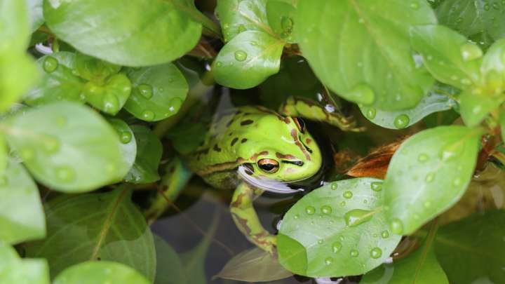 the decrease of the frog population caused by parasites Impacts of mesomycetozoean parasites on amphibian and freshwater fish populations  association with population declines in at least one frog spe.
