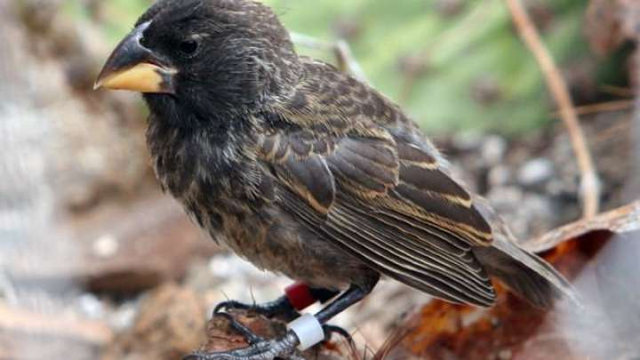 A New Species Of Darwin's Finch Evolved In Just Two Generations