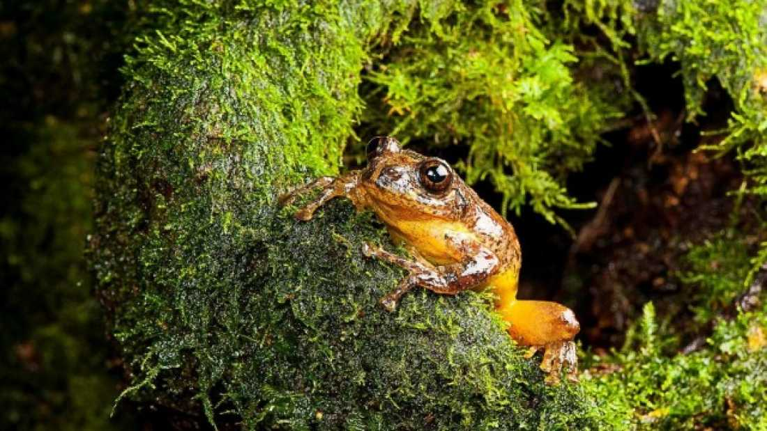 817 'Extinct' Frog Rediscovered In India After 130 Years