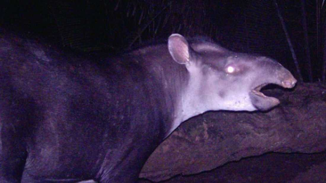 199 New species of tapir discovered in South America