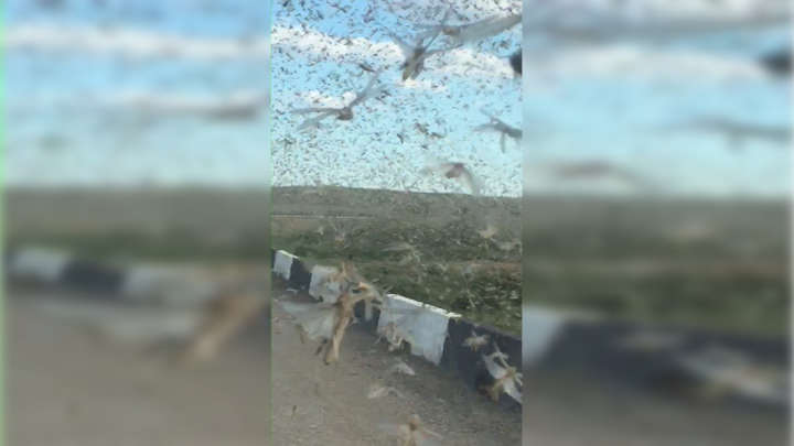 Incredible Video Shows Driver Speeding Through Cloud Of Millions Of Locusts