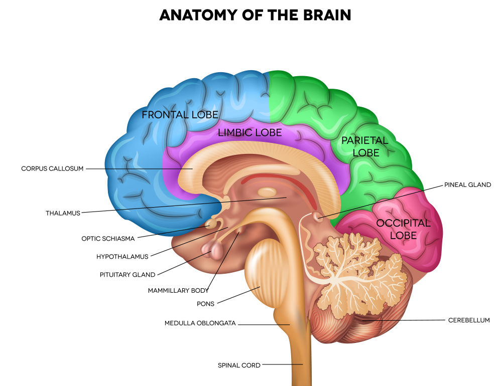 brain thalamus function - photo #22