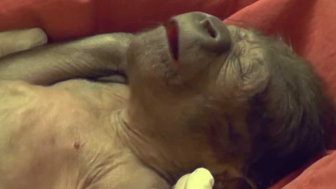 1498 Baby Gorilla Delivered By C-Section at U.K. Zoo