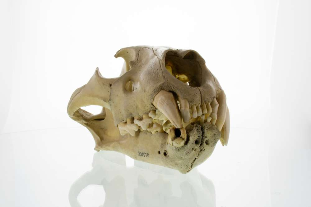 content-1492517982-skull-of-first-tsavo-