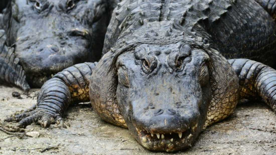 197 Wading Birds Pay Alligators For Protection By Sacrificing Chicks