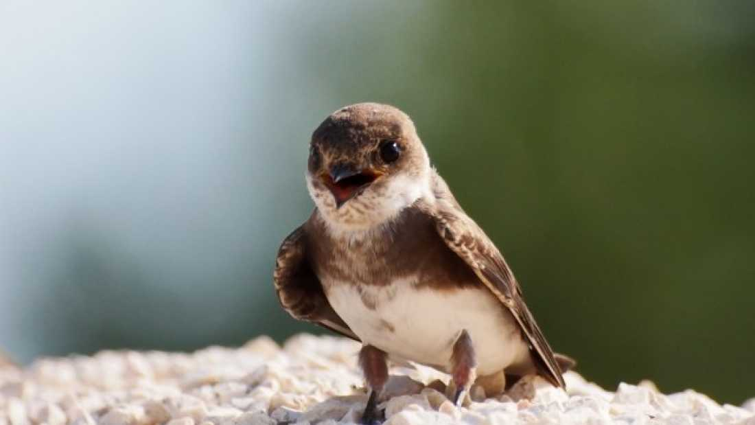 123 Confused Male Sand Martin Birds Filmed Having Sex With Dead Male