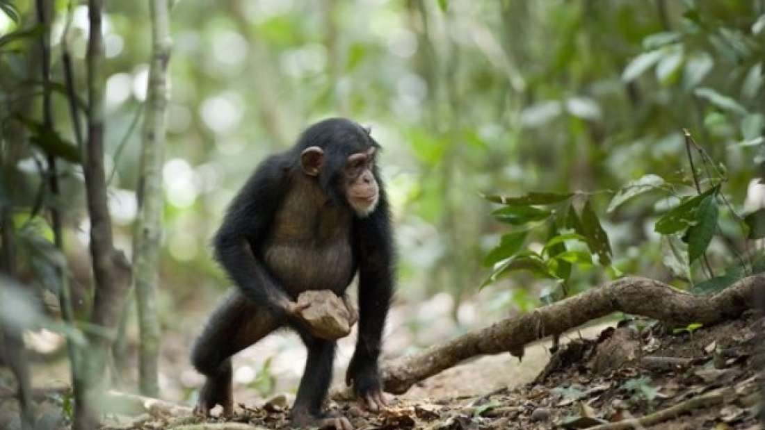 "132 Mysterious Chimpanzee Behaviour May Be Evidence Of ""Sacred' Rituals"