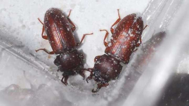 Lucky female flour beetles get more sperm if they smell for What does it mean when your sperm smells like fish