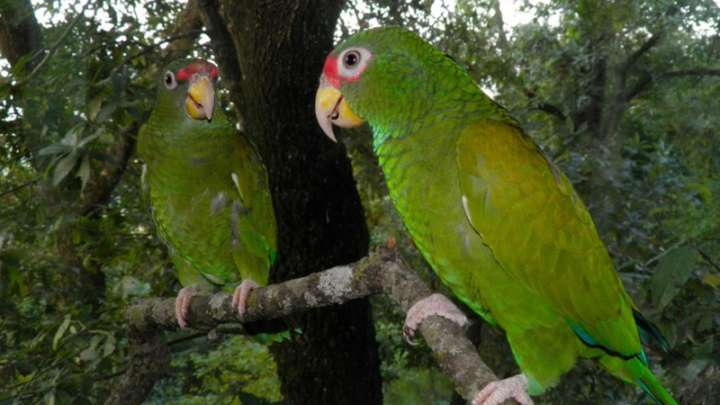 Beautiful New Species Of Parrot Discovered In Mexico