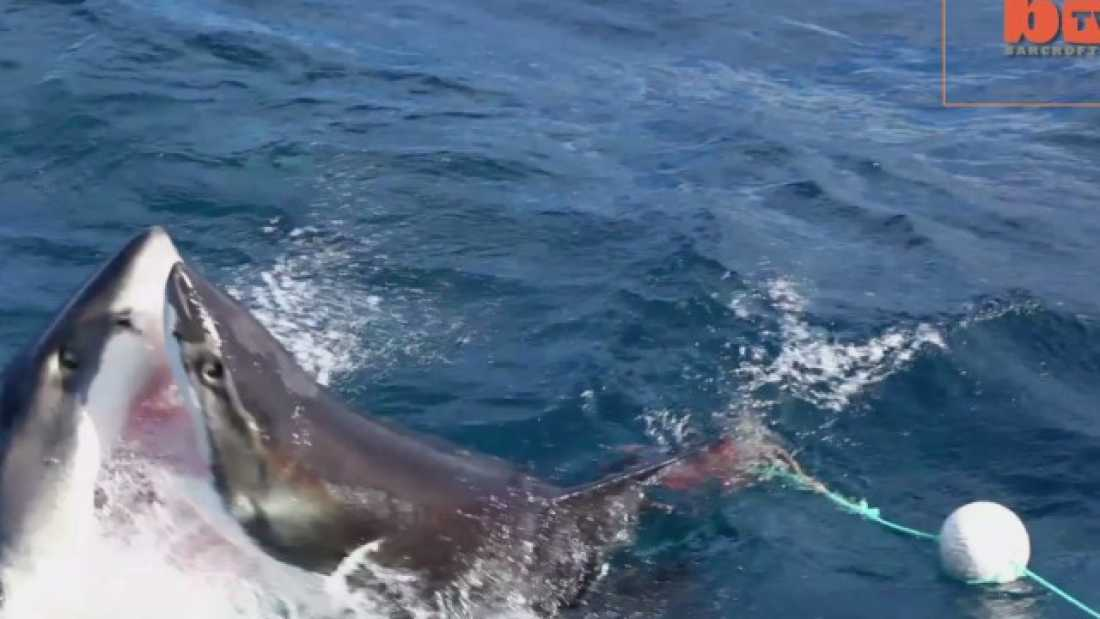 2294 Dramatic Battle Between Great White Sharks Caught On Camera