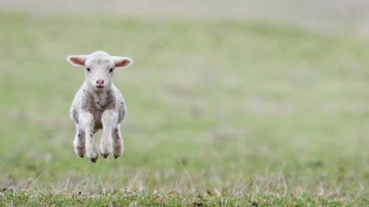 Genetically Modified Lamb with Jellyfish Protein Accidentally Sold ...