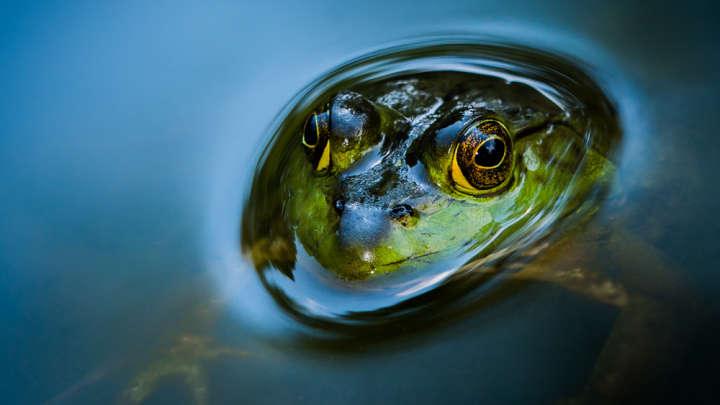 Jumping gender: frogs change from she to he - Free