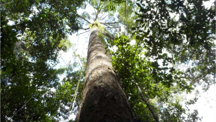 Tallest Tree In The Tropics Found In The Remote Malaysian