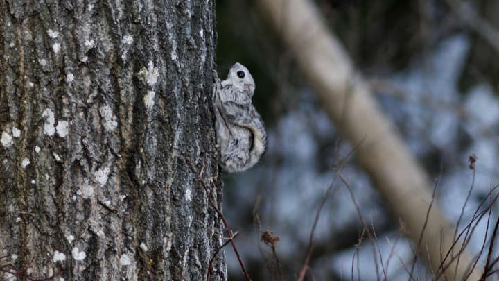 Siberian Flying Squirrels Are The Best Thing You'll See Today (Or Ever)