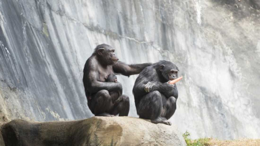 3811 The US Government Is Retiring All Research Chimpanzees