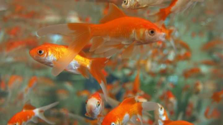 Why you should never put a goldfish in a park pond or for Goldfish pond plants