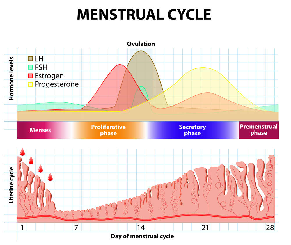 content-1484145059-menstrual-cycle.jpg