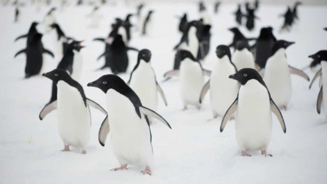 1226 Penguin Disaster As Iceberg Blocks Route To Sea