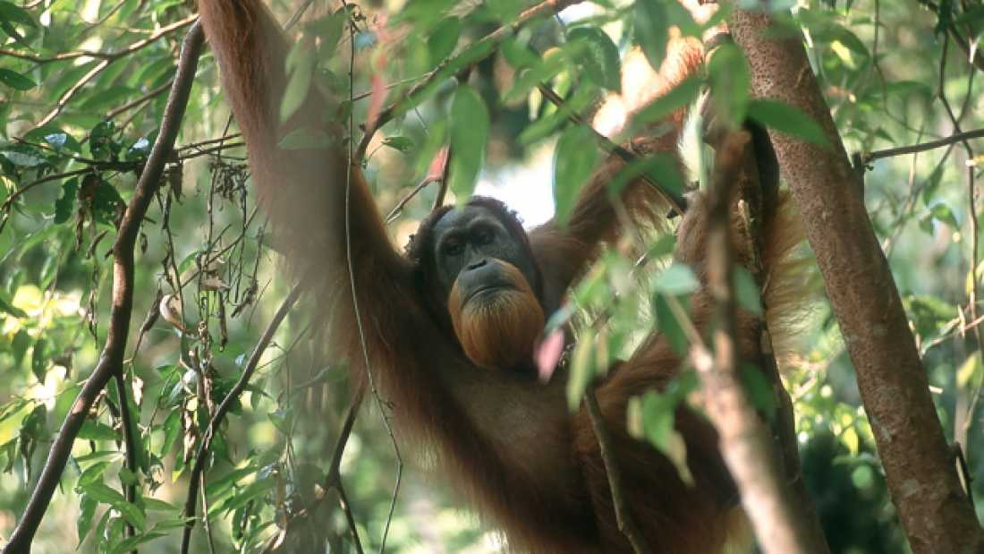 246 There Are Twice As Many Sumatran Orangutans As We Thought