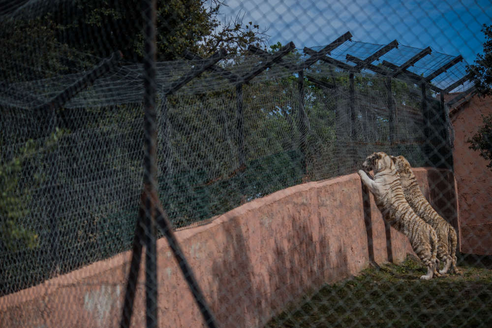content-1501085705-white-tigers-france-2