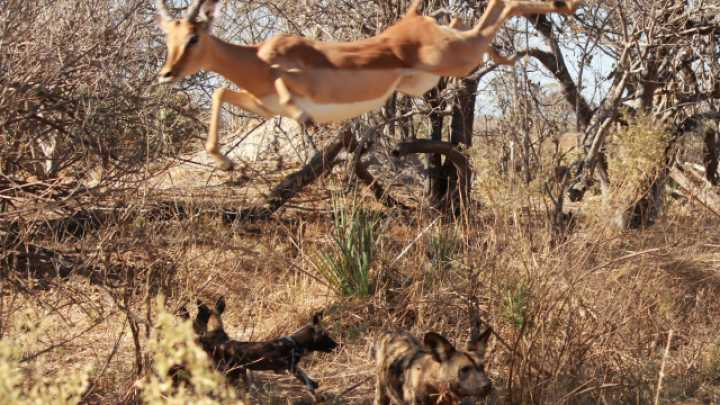 African Wild Dogs Sharing Kill With The Pack Are More