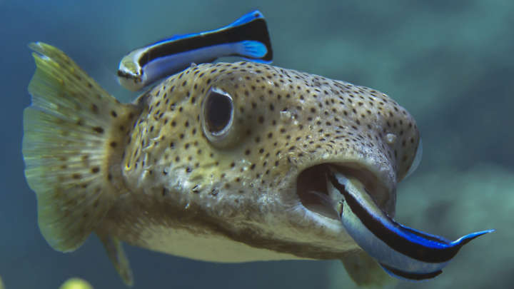 Parasites slow the brain cleaner fish make their clients for Dreaming of fish
