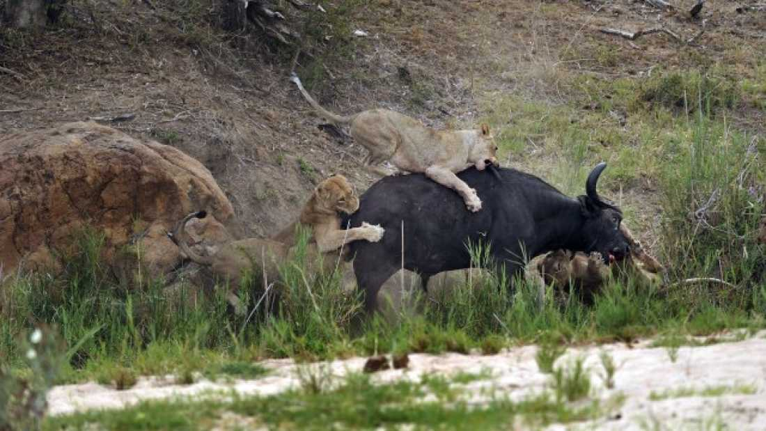 922 Lion Impaled On Buffalo's Horn During 90-Minute Battle