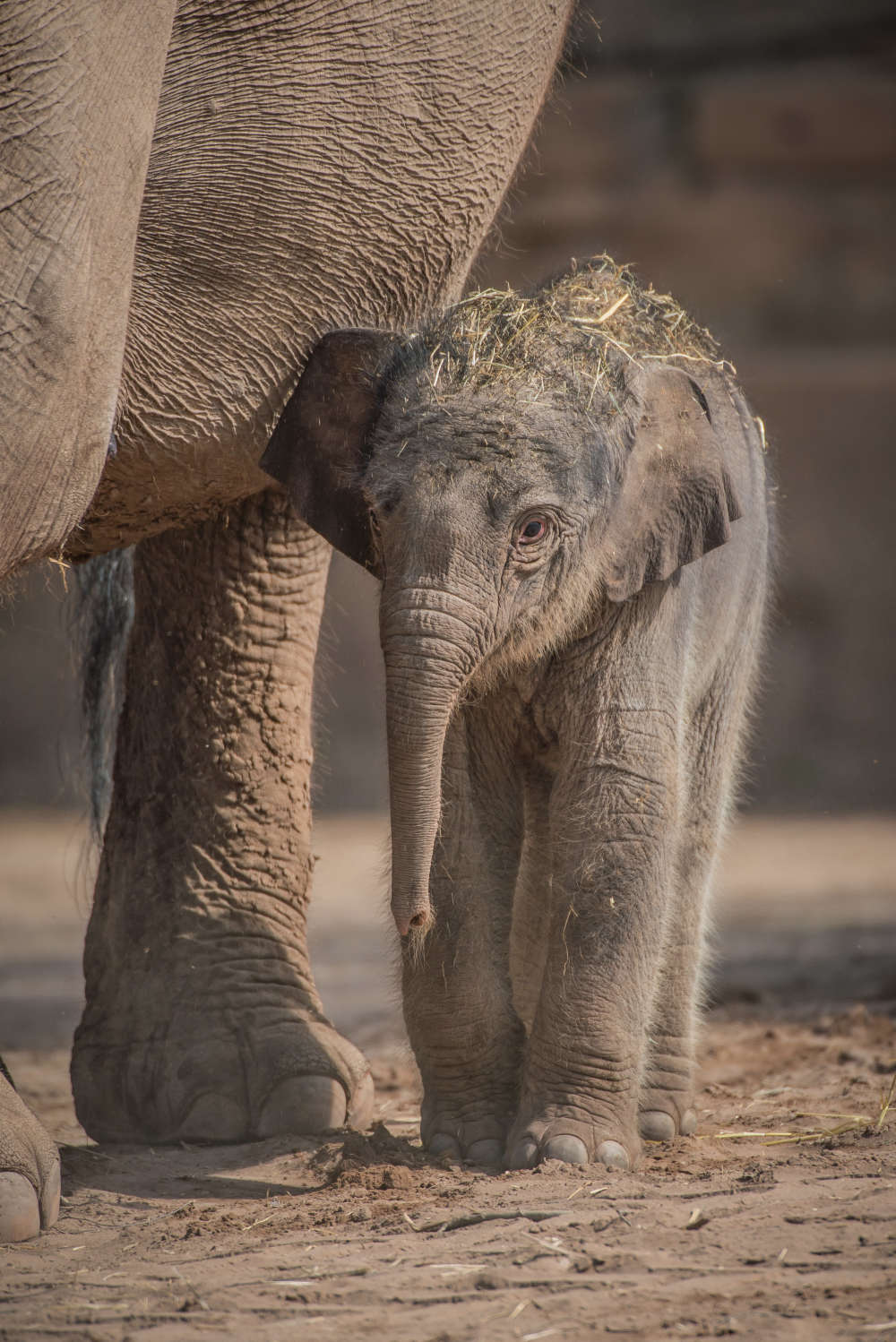 Zoo's Rare Elephant Pregnancy Thought To Have Failed Until Last-Minute Plot Twist