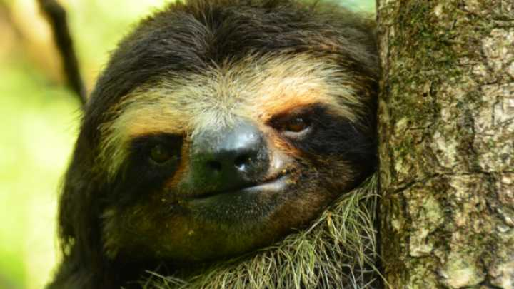 pygmy three toed sloth analysis A population and habitat assessment of the pigmy three though this has yet to be confirmed with dietary analysis pygmy three-toed sloth.