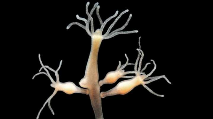 Immortal Hydra Is Able To Genetically Modify Itself ...
