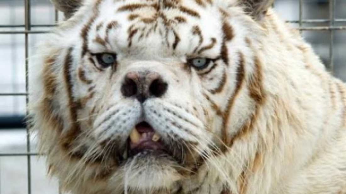 1807 Kenny The White Tiger Reveals The Price of Inbreeding