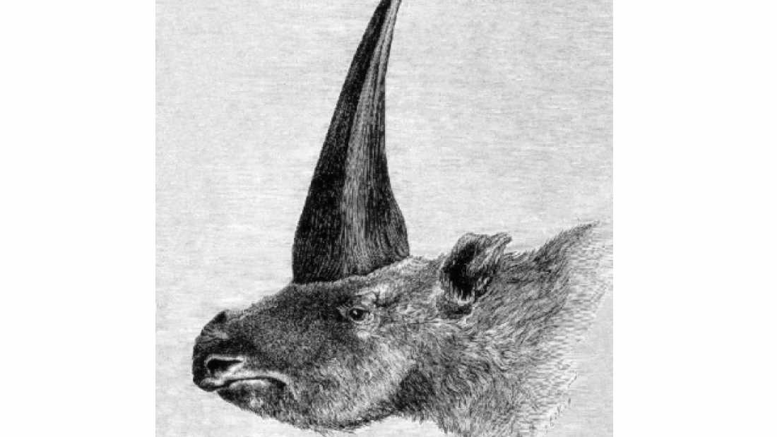 657 'Siberian Unicorn' Went Extinct Much Later Than We Thought