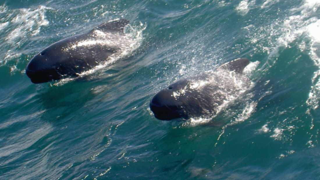 200 Dolphins And Whales Divide Up Their Food In The Atlantic Ocean