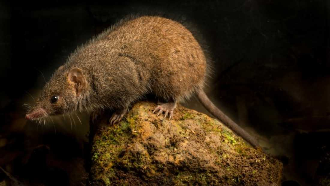 346 New Species Of Marsupial Has Sex Until It Dies