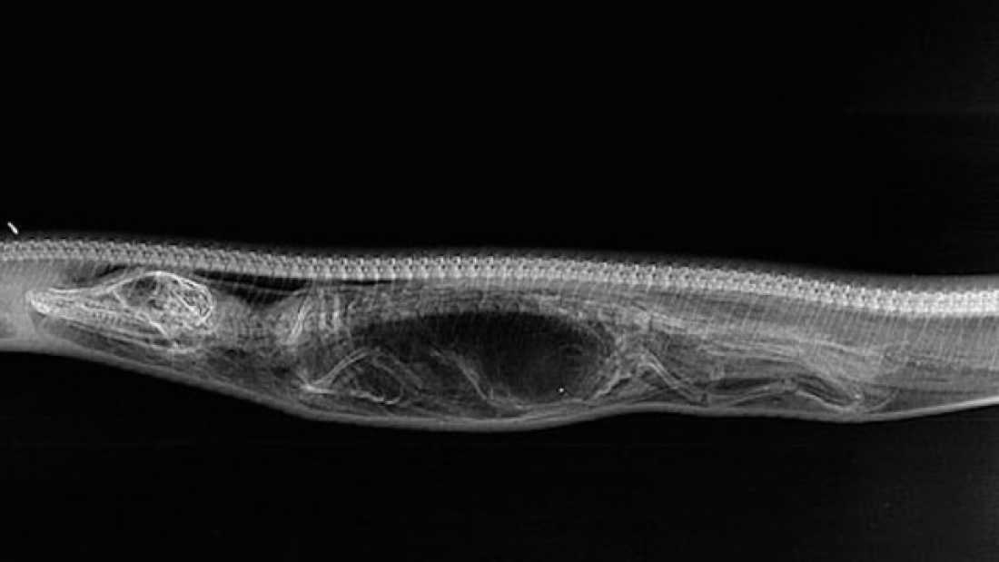 1610 Awesome X-Ray Images Show A Python Breaking Down An Alligator