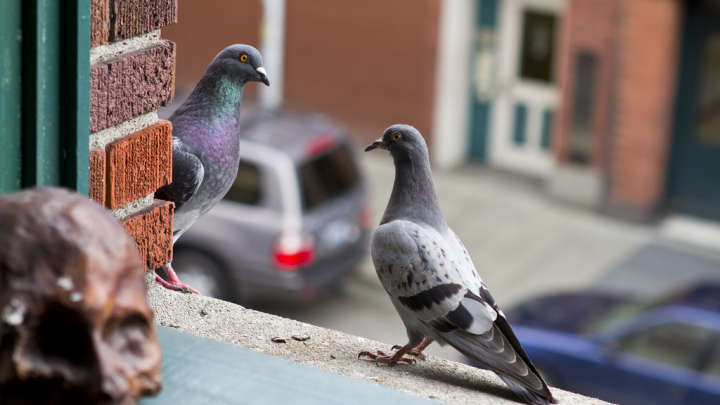 Why Do You Never See Baby Pigeons? | IFLScience