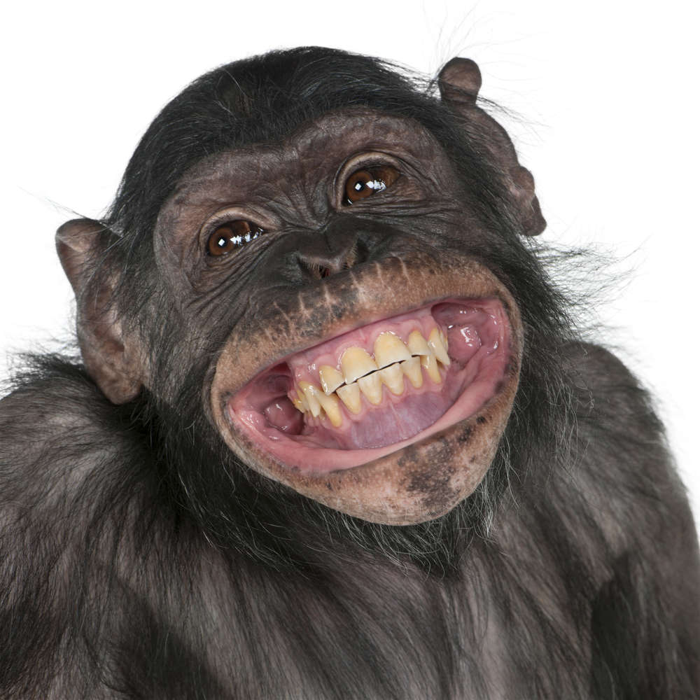 content-1470395609-chimp-smile.jpg