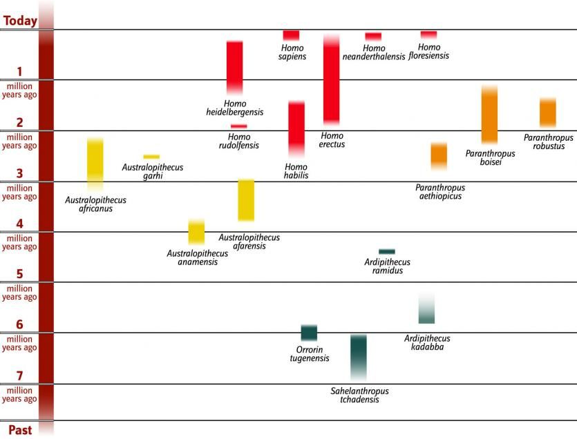 an analysis of the evolutionary relationships of australopithecus and homo Focus: the evolutionary transition from australopithecine to homo involved not   new discoveries and new analyses of homo include three major monographs   most of these are based on the relationship between known body weight and.