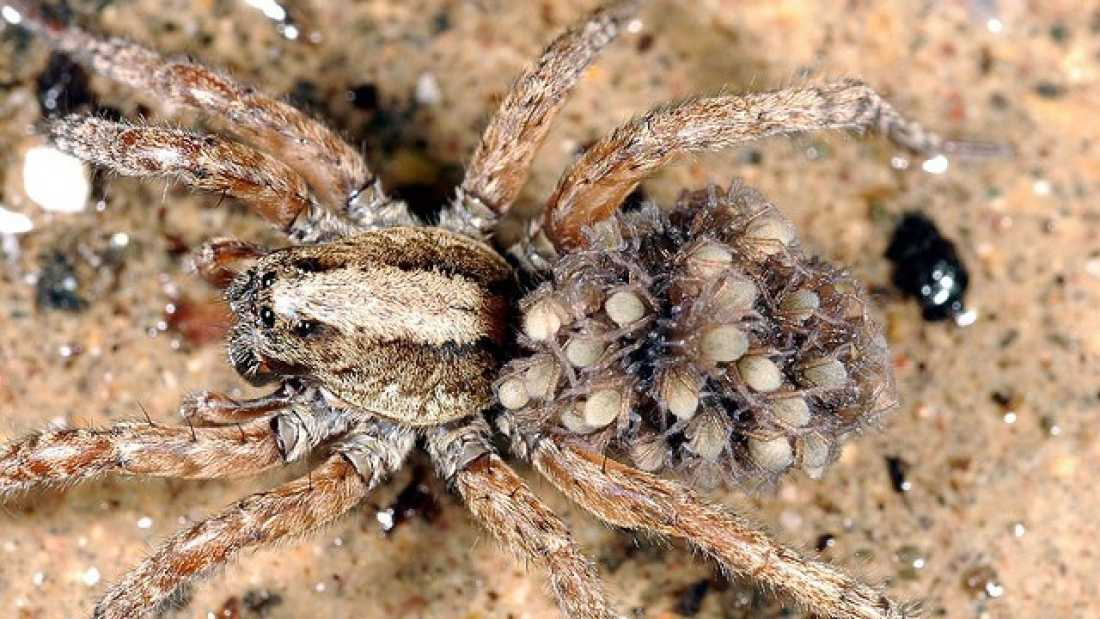 2396 Watch Baby Spiders 'Explode' From Mother During Fight