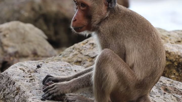Quot Stone Age Quot Of The Macaques Dates Back Half A Century