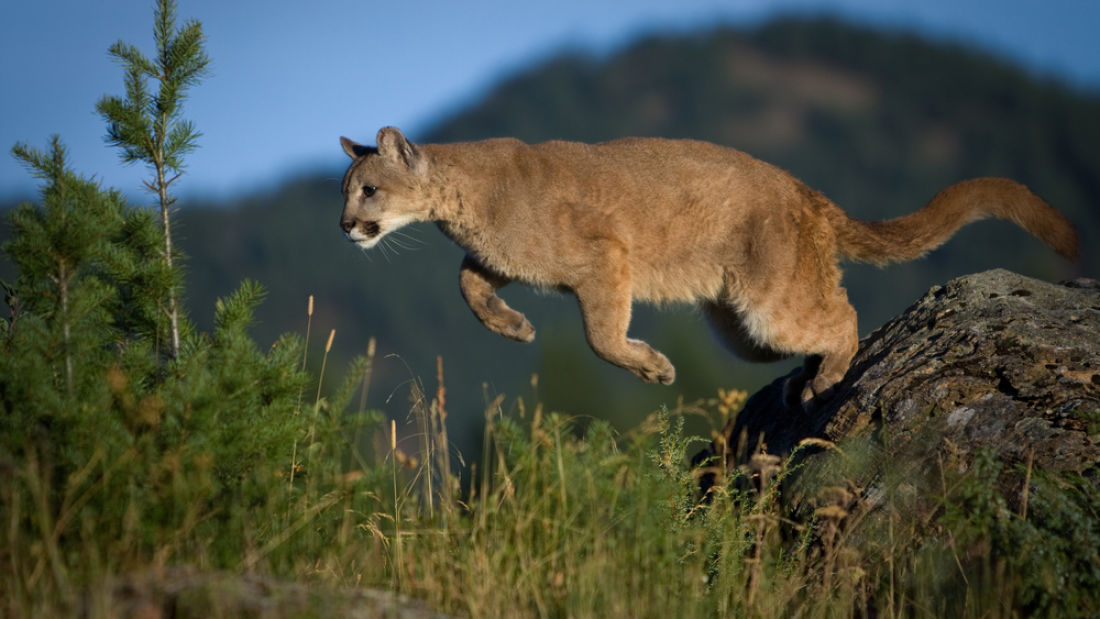 The Return Of Big Cats Could Help Save Lives On The Road