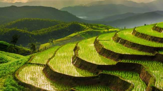 Image result for rice plant