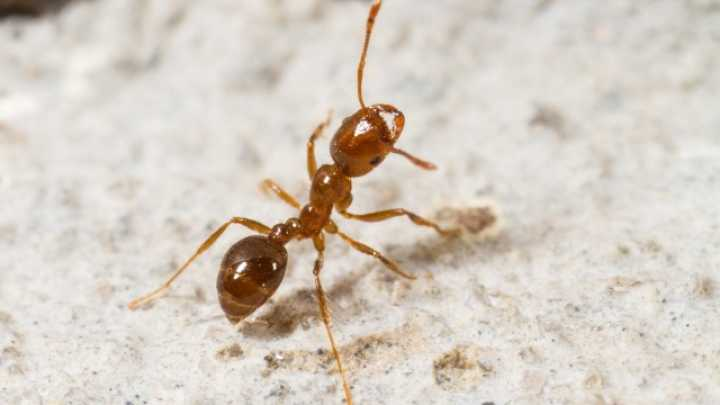 red imported fire ant - Solenopsis invicta |Baby Red Ants