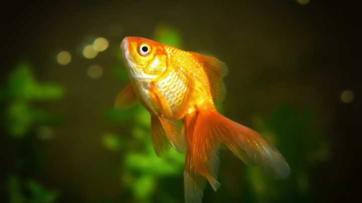 Do You Have Lower Attention Span Goldfish on human time span