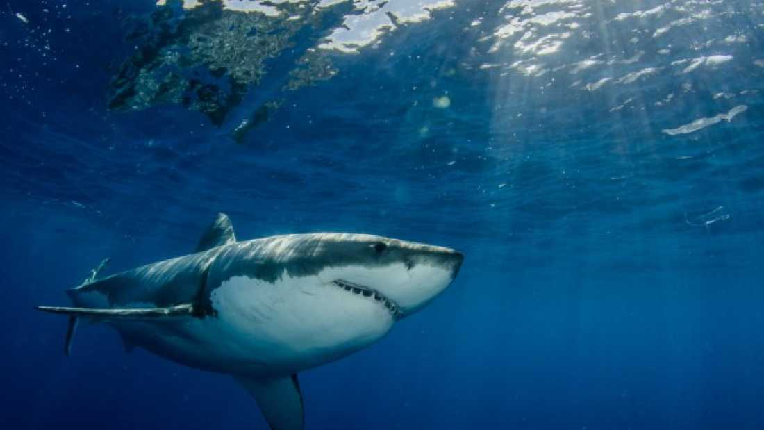 558 Great White Shark Dies After Just THREE Days In Captivity