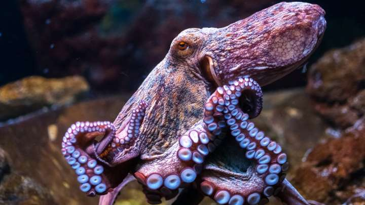 New Study Suggests Evidence That Octopuses Came From Outer Space