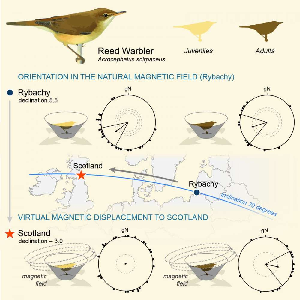 How Migratory Birds Know Their Longitude | IFLScience