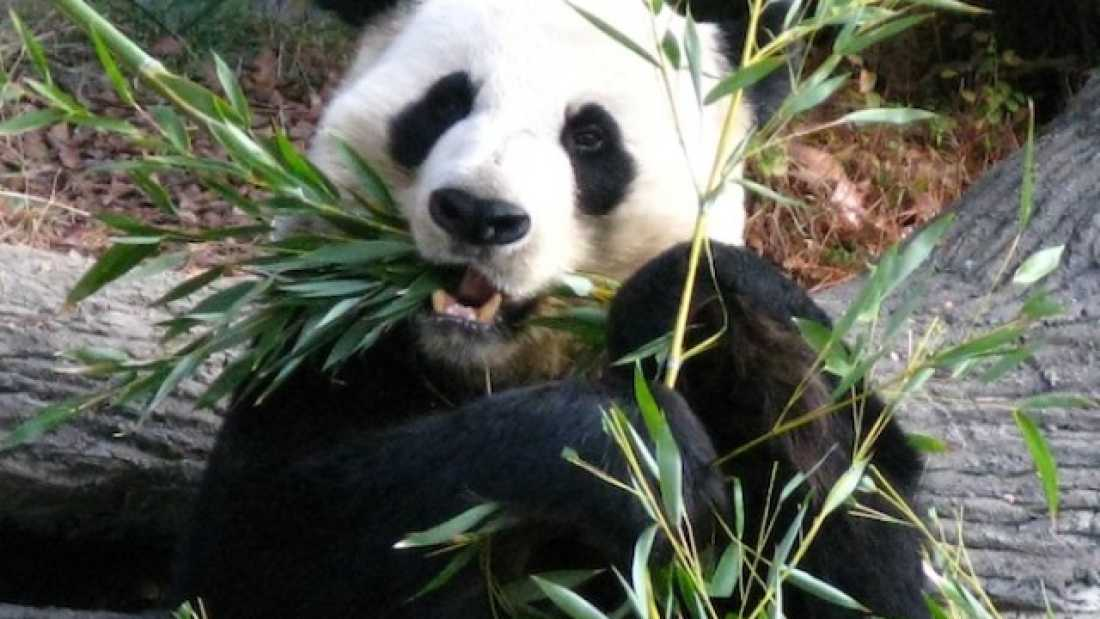 Panda Eating Bamboo ~ Pandas bamboo only diet should kill them iflscience