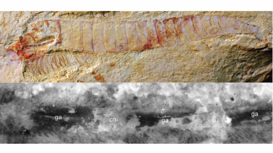 144 515-Million-Year-Old Fossils Contain Exquisitely Preserved Nervous System